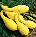 David's Garden Seeds Squash Summer Yellow Crookneck D2450A (Yellow) 100 Organic Seeds