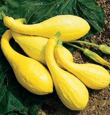 David's Garden Seeds Squash Summer Yellow Crookneck D2450A (Yellow) 100 Organic Seeds