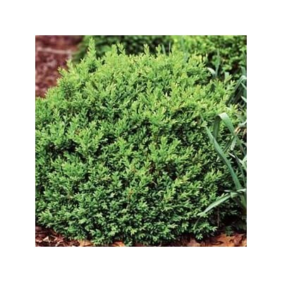 "Buxus-North-Star - 8"" Jumbo Pot (Shrub) : Garden & Outdoor"