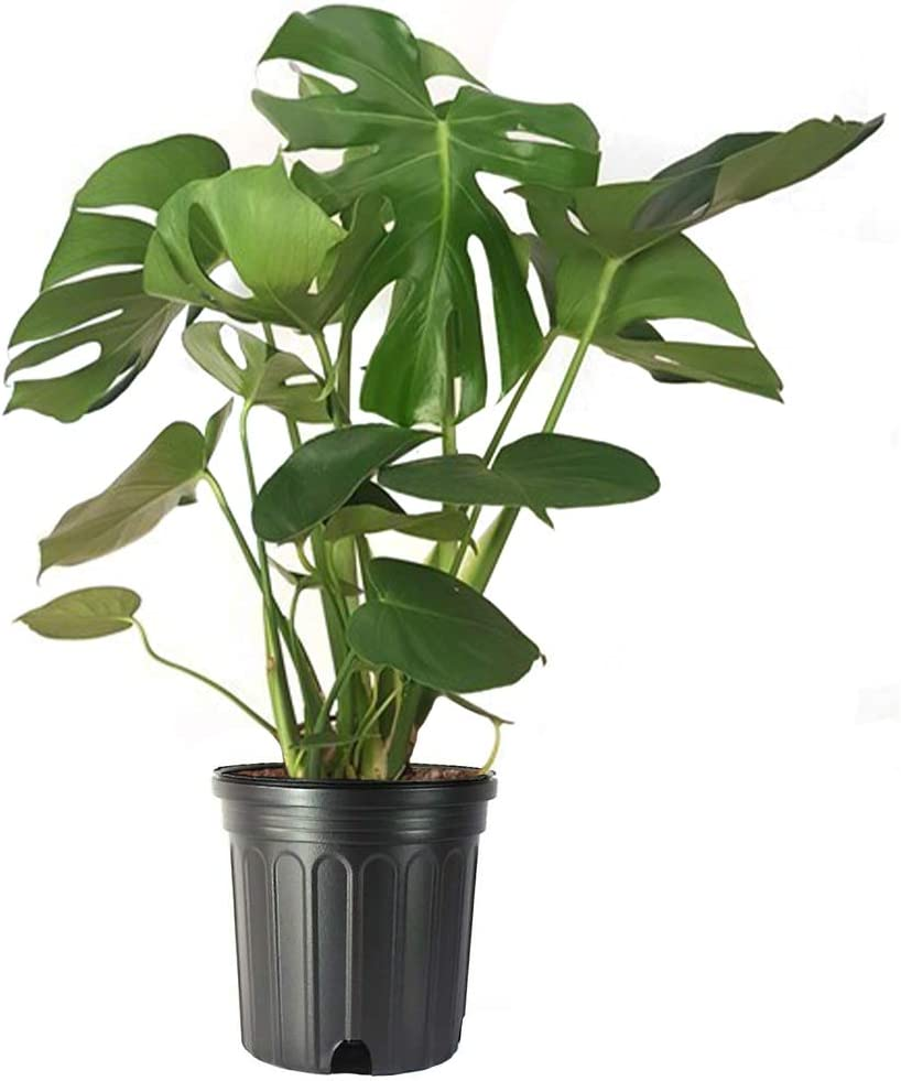 Amazon.com : American Plant Exchange Split Leaf Philodendron Monstera  Deliciosa Live Plant, 3 Gallon, Green : Garden & Outdoor