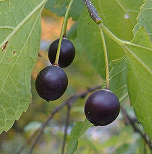 American Hedge berry hackberry tree seedling edible and Shade tree LIVE PLANT