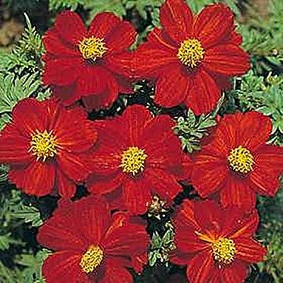 Cosmos Sunny Series Red Annual Seeds : Garden & Outdoor