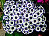 Shopmeeko 100PCS True Mixed Color Cineraria Plant, Potted Pericallis hybrida Plant, Bonsai Flower Plant for Balcony Garden Plant: 17