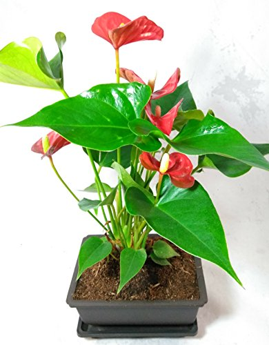 (Summer Special - Hawaiian Red Anthurium Plant 8 - 10 Inches in a 5'' L Bonsai)
