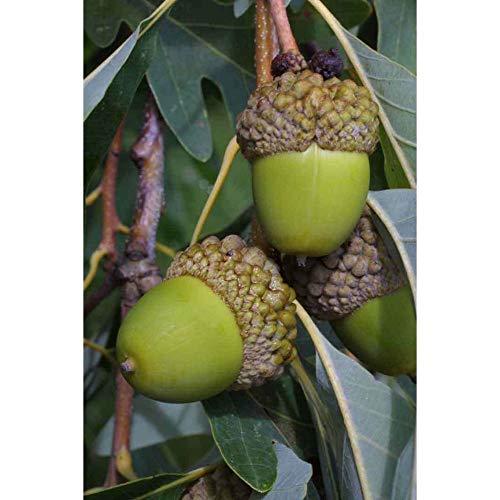 White Oak Tree Deer Food Acorn Nut Established Rooted in 1 Gallon Pot 1 Plant #GW05