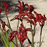 "9EzTropical - Kangaroo Paw Kanga Burgundy - 1 Plants/Bulbs - 8"" Tall - Ship in 3"" Pot"