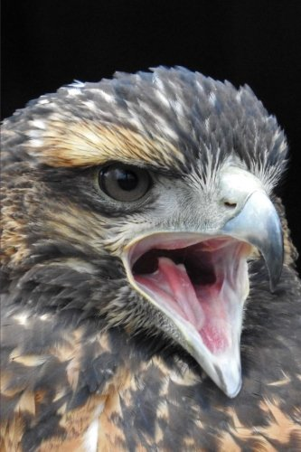 Harris Hawk Close Up Raptor Bird Journal: 150 Page Lined Notebook/Diary (Harris Bird Hawk)