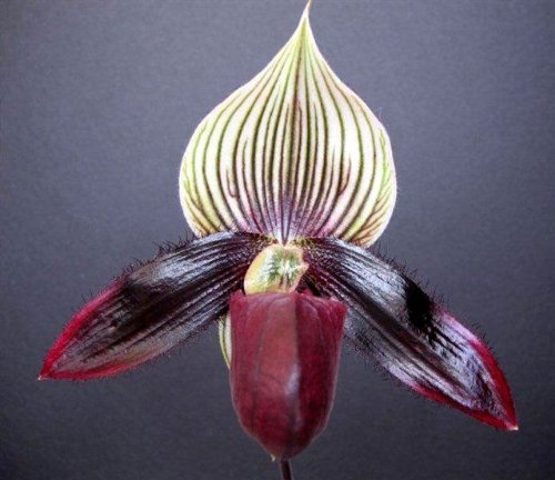 Lovely maudiae type paph - ladyslipper orchid blooming size by The Orchid Gallery