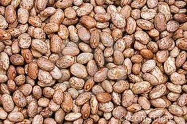 Amazon Com Bulk 1 4 Approx 300 Pinto Bean Seeds Non Gmo Combined Shipping Garden Outdoor