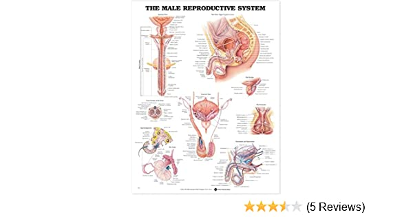 Amazon The Male Reproductive System Anatomical Chart