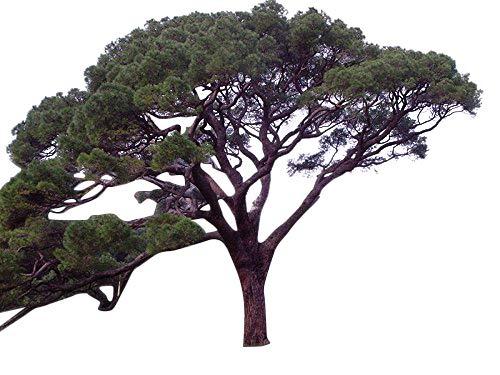 Pinien Saatgut (Pinus pinea) -Selber essbare Pinienkerne züchten- Samenchilishop