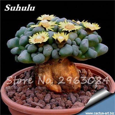 Gran venta! 50 PC semillas de cactus raras plantas suculentas mini jardín Plantar, comestibles Semillas belleza de la fruta de la planta vegeable hierbas 5: Amazon.es: Jardín
