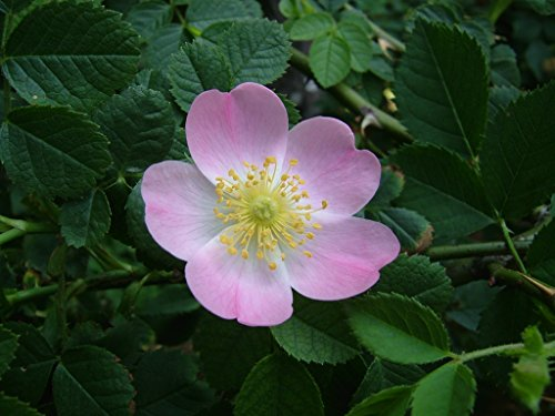 Review Rosa Canina 25 Seeds