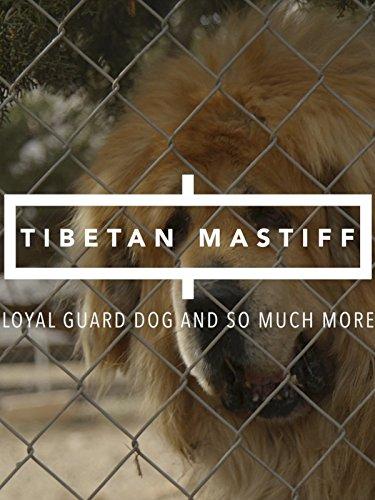 Tibetan Mastiff: Loyal Guard Dog And So Much More