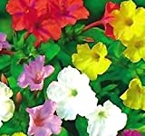 BIG PACK - 4 O'clock Mix (500+ Seeds) FRAGRANT Mirabilis jalapa FLOWER SEEDS - MARVEL OF PERU - BUTTERFLY HONEY BEE ATTRACTANT - Non-GMO - Flower Seeds By MySeeds.Co (BIG PACK 500+ Seeds)