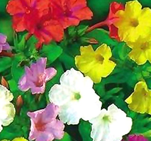 (BIG PACK - 4 O'clock Mix (500+ Seeds) FRAGRANT Mirabilis jalapa FLOWER SEEDS - MARVEL OF PERU - BUTTERFLY HONEY BEE ATTRACTANT - Non-GMO - Flower Seeds By MySeeds.Co (BIG)