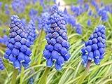 Home Comforts LAMINATED POSTER Gyöngyike Muscari Neglectum Purple Flower Flower Poster