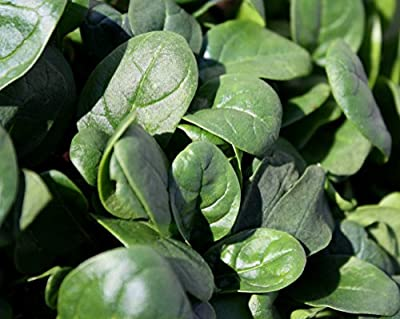 2,000+ Microgreens (Sprouting) Seeds- Spinach Bloomsdale Savoy- No Chemicals Used! Non-GMO