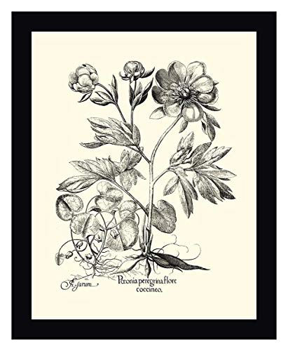 - Black and White Besler Peony III by Basilius Besler - 31