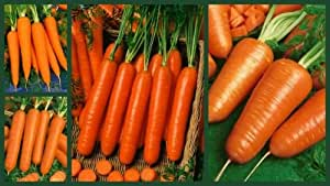 """CRAZY FOR CARROTS"" - HEIRLOOM NON-GMO CARROT SEEDS - 4 PACK SPECIAL! SAVE!"