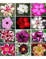 10 Sementes de Rosas do Deserto triplas, duplas e simples (Adenium obesum) Sortidas Kit nº 2