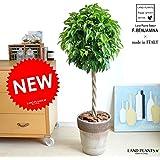 LAND PLANTS 【観葉植物】 ベンジャミン トピアリー (イタリア製 コーヒースクラッチ鉢)