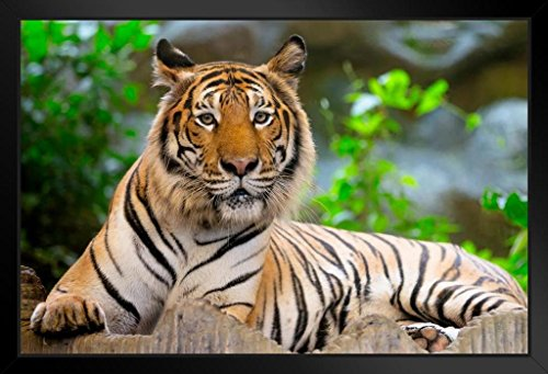 - Bengal Tiger Up Close Photo Art Print Framed Poster 20x14 inch
