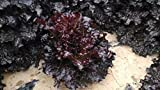 Large-Leaved Purple Lettuce 1000 Seeds