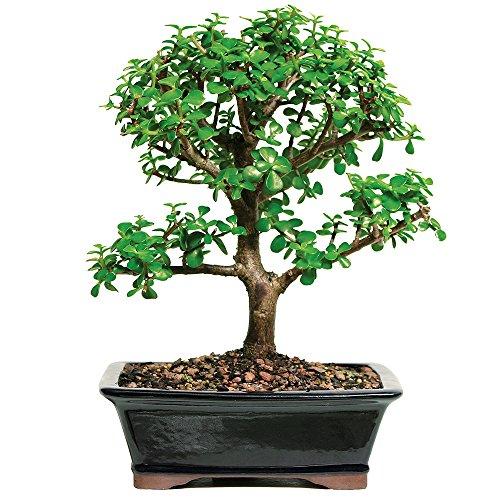 Jade Bonsai (Brussel's Dwarf Jade)