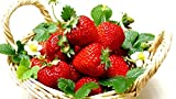 Hirt's Gardens B00U2PZJPE Everbearing Ozark Beauty Strawberry 20 Bare Root Plants