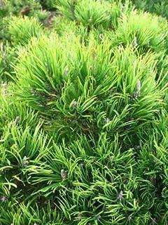 15 Stück Heckenpflanze Lebensbaum Brabant 40-60 cm hoch im 2 Liter Topf kräftig