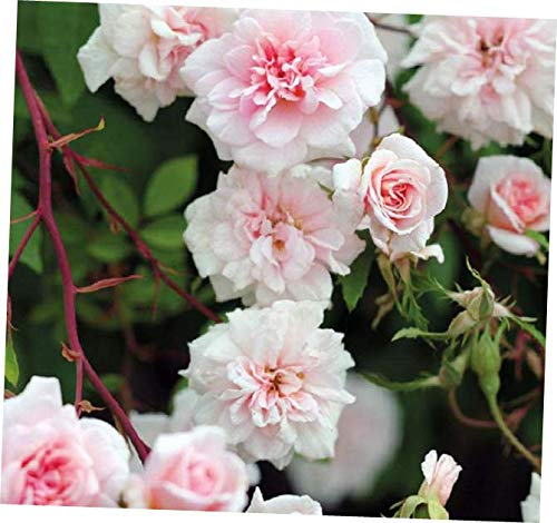 ZEE 1 Cecile Brunner Climbing Rose Plant Potted | Fragrant Pink Double Flowers - RK156 (Best Pink Climbing Rose)