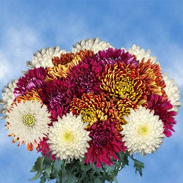 GlobalRose 200 Assorted Fresh Cut Disbud Chrysanthemums Flowers - Fresh Flowers For Birthdays, Weddings or Anniversary.