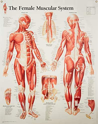 Muscular System Female chart: Laminated Wall Chart