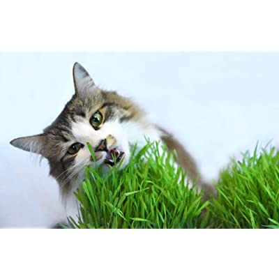 Cat Grass Seeds by Perfect Plants - 1lb. Bag - Guaranteed to Grow Non-GMO Wheat Grass Seed : Garden & Outdoor