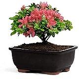 Vamsha Nature Care Live Azalea Flower Ornamental Bonsai Plant with Plastic Pot