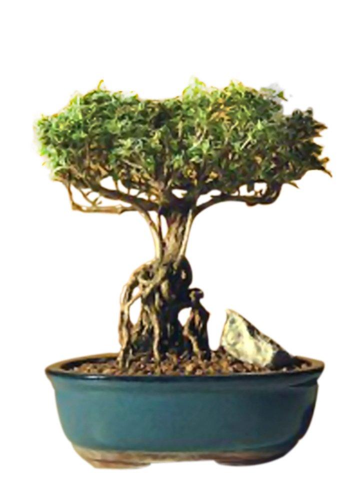 Amazon Com Bonsaiboy Flowering Mount Fuji Serissa With Raised Roots Serissa Foetida Live Indoor Bonsai Plants Grocery Gourmet Food
