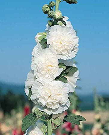 20 Seeds Hollyhock chater White Flower