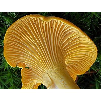 CEMEHA SEEDS Mushrooms Golden Chanterelle (Cantharellus cibarius) Mycelium Spores Spawn Dried Organic : Garden & Outdoor