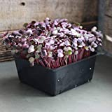 Organic RED Vulcano Radish Seeds - Non-GMO, Heirloom - MICROGREENS, Sprouting 4 OZ