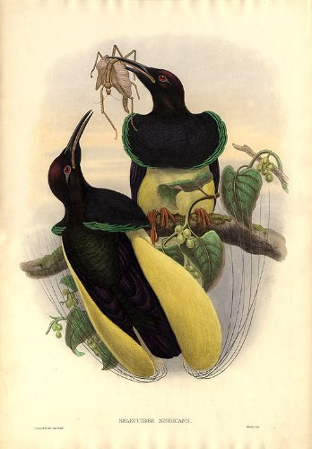 (Twelve-wired Bird of Paradise)