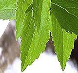 4 Packs x 100 STEVIA REBAUDIANA HERB SEEDS ~ SUGAR LEAF or SWEET LEAF Seed ~ GREAT As Indoor Plants Or Greenhouses - sugar substitute - Zone 9B-11 - By MySeeds.Co