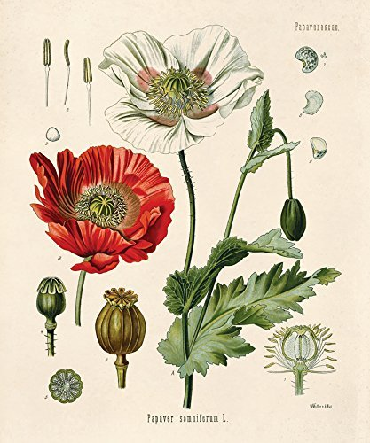 Amazon 16 x 20 vintage botanical opium poppy flower diagram 16quot x 20quot vintage botanical opium poppy flower diagram chart poster reproduction print mightylinksfo