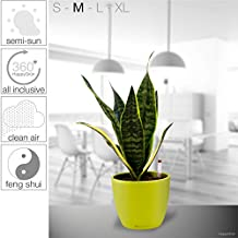 HappyGrün: All Inclusive Hydroponic Plant System - Carefree, Innovative, Stylish, Soil Free | Snake Plant - Sansevieria Futura Superba | M - Sylt 17/15 | Bamboo Green - High Gloss