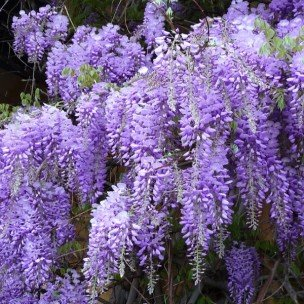 Blue Chinese Wisteria Seeds 40 Seeds Upc 646263362297