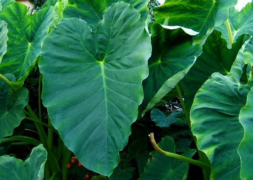 3 Bulbs Colocasia esculenta , Green Taro, cocoyam, taro, Elephant Ears Bulbs Taro (Elephant Leaf)