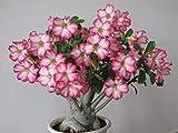 2 Desert Roses, Adenium Obesum one Year Plant, Baby Size Bonsai Caudex from Lankui