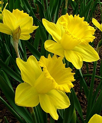 Trumpet Daffodil Improved King Alfred (Pack of 12 Bulbs) Perennial, Zones:4-9