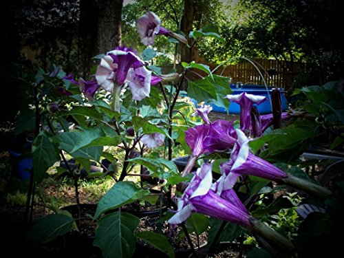 Purple Angel Trumpets Giant Flowers (25 Seeds)