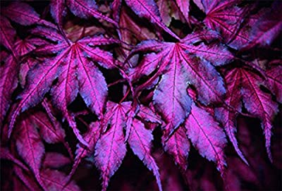 "(Ghost 40 *Ambizu*) 20+20pcs ""Purple Ghost"" Japanese Maple Seed"